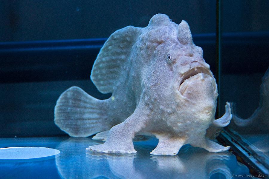 Психоделическая рыба-лягушка (лат.